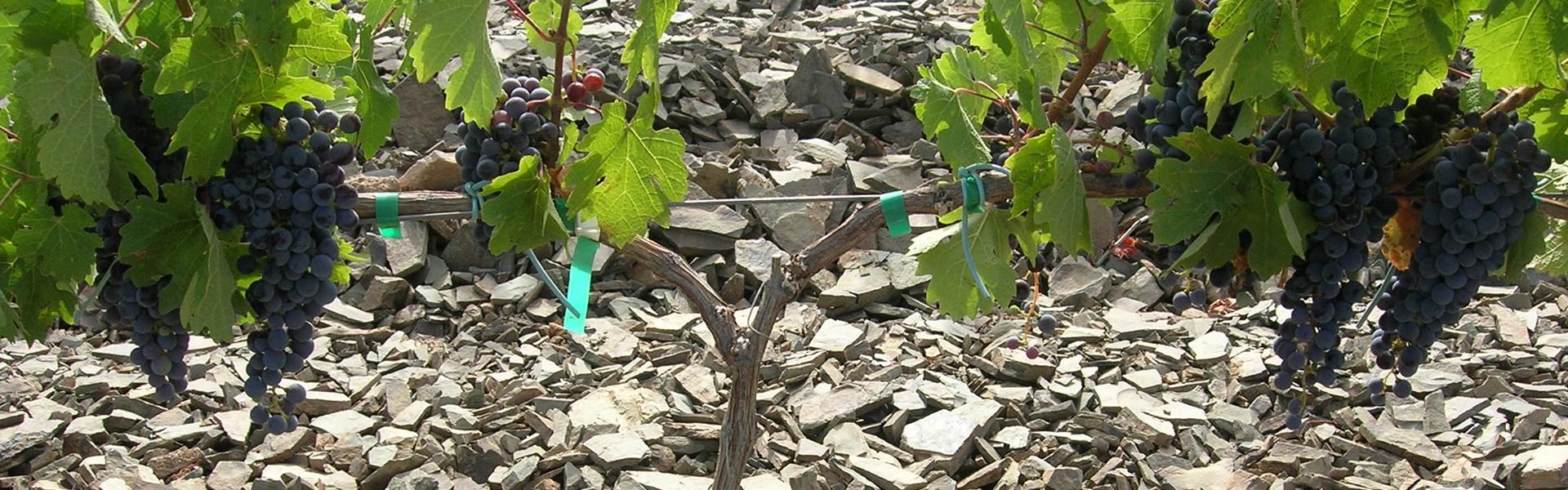 Agostón Wine